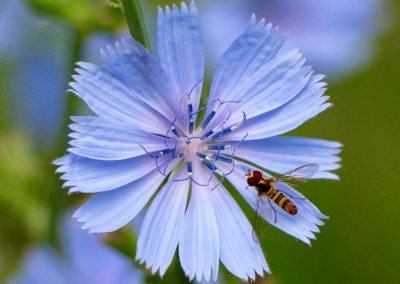Blue with Bee