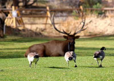Elk and Geese