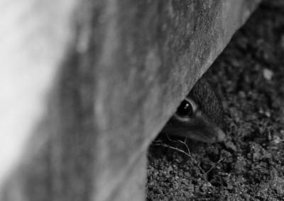 Hiding Chipmunk