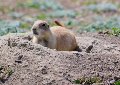 Prairie Dog Closeup