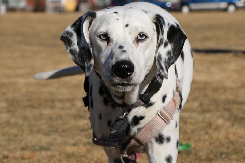 my dalmatian dog, princess