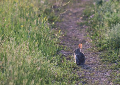 Rabbit on a Trail